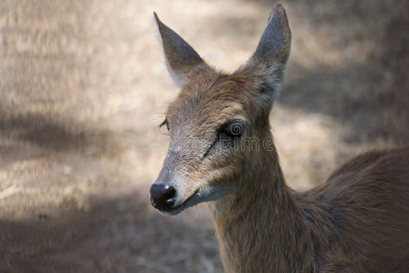 Horned kvinnlig för antilop fyra arkivbilder