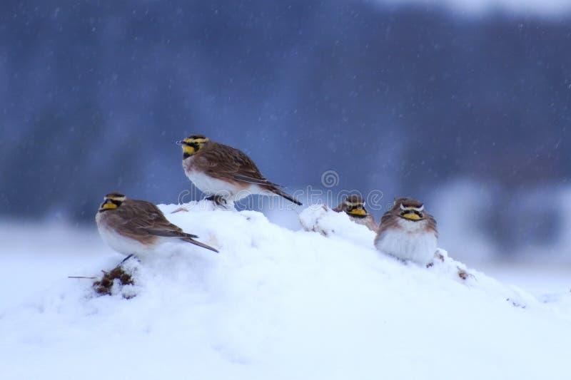 Horned Lark snow royalty free stock images