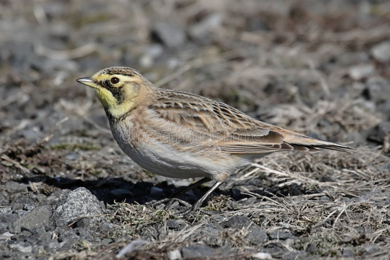 Download Horned Lark In Winter stock photo. Image of wing, nature - 7395210