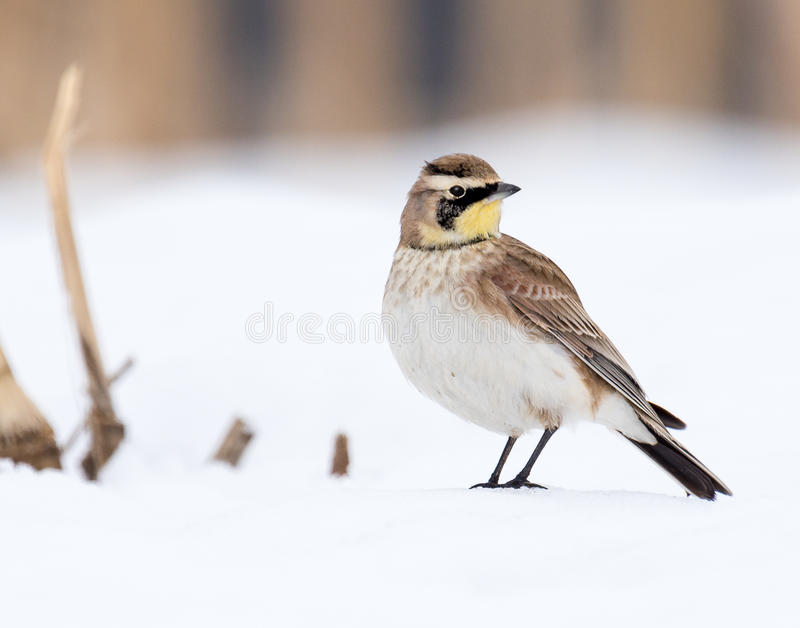 Horned Lark in winter. Horned Lark standing in a snow covered field during January 2105 snow storm in Pennsylvania
