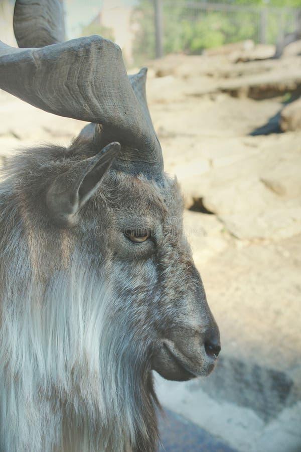 Horned Markhor mountain goat - cloven-hoofed animals. royalty free stock photography
