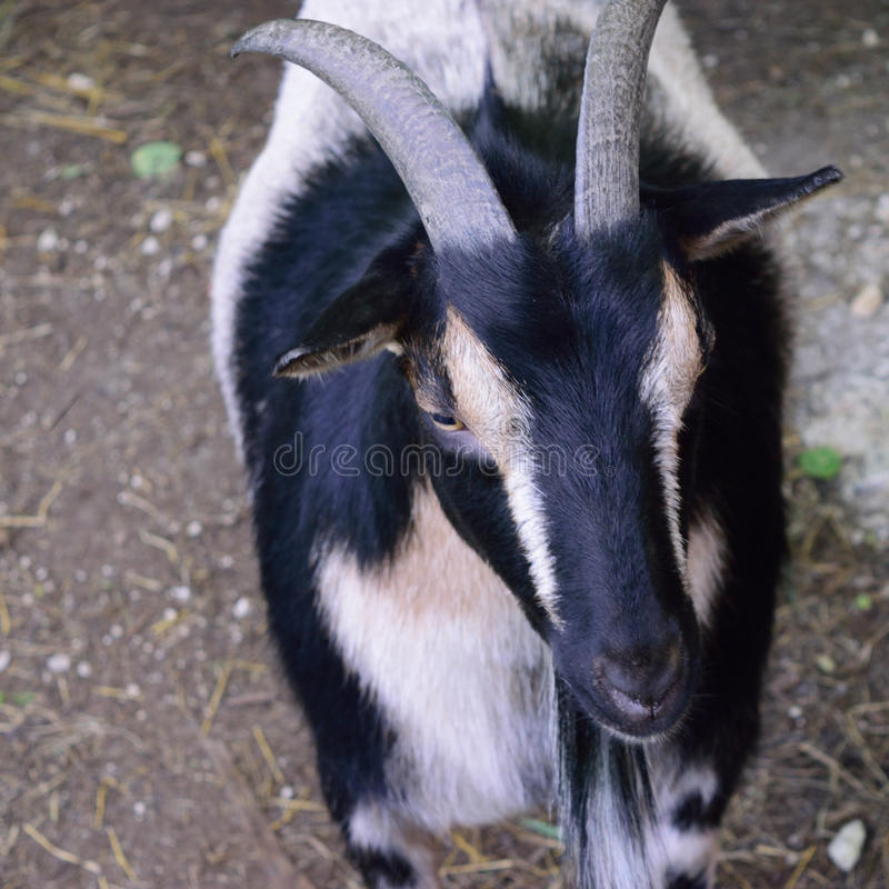 Horned Nigerian Dwarf Goat. A Nigerian dwarf goat with horns walks towards the camera royalty free stock image