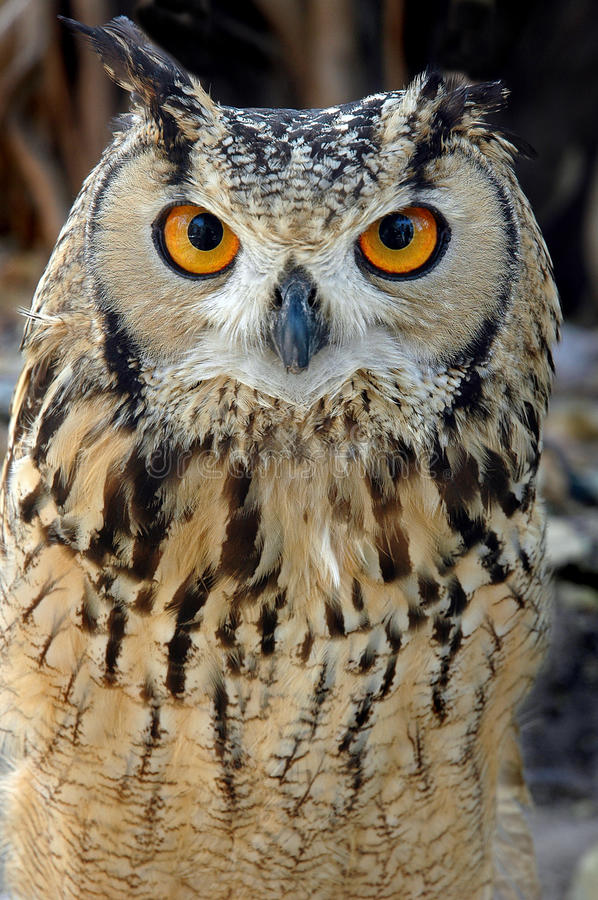 Download Horned Owl stock photo. Image of feathers, black, glance - 27718760