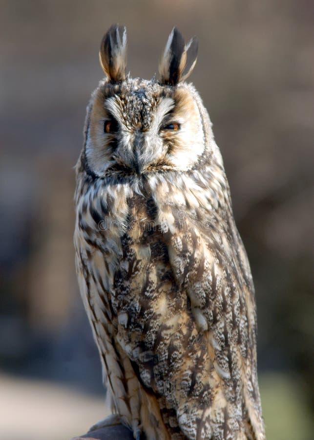 horned owl arkivbilder