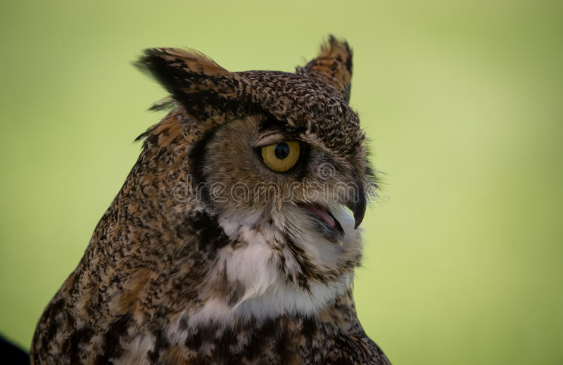 Horned Owl Bird of Prey. A spotted horned owl bird of prey peers off in the distance looking for its next meal royalty free stock images