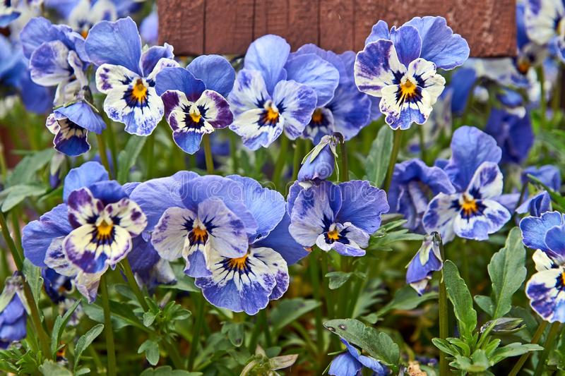 Horned pansy or viola cornuta violet flowers.  royalty free stock photo