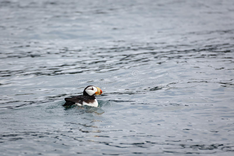 Horned Puffin, a pelagic seabird, swimming close by Alaskan waters royalty free stock image