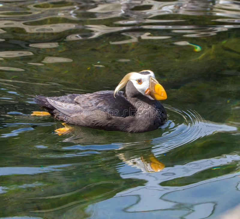 Horned puffin in water stock photography