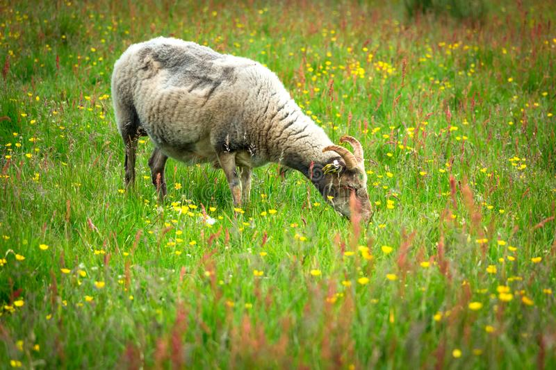 A Horned Ram (Adult Male Sheep) Eating Grass in The Summer Meadow stock photo