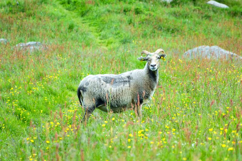 A Horned Ram (Adult Male Sheep) in The Summer Meadow. Image of a horned ram (adult male sheep) standing in the meadow at Runde island, Heroy stock photography
