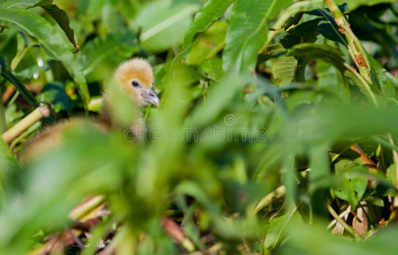 Horned Screamer Chick stock photography