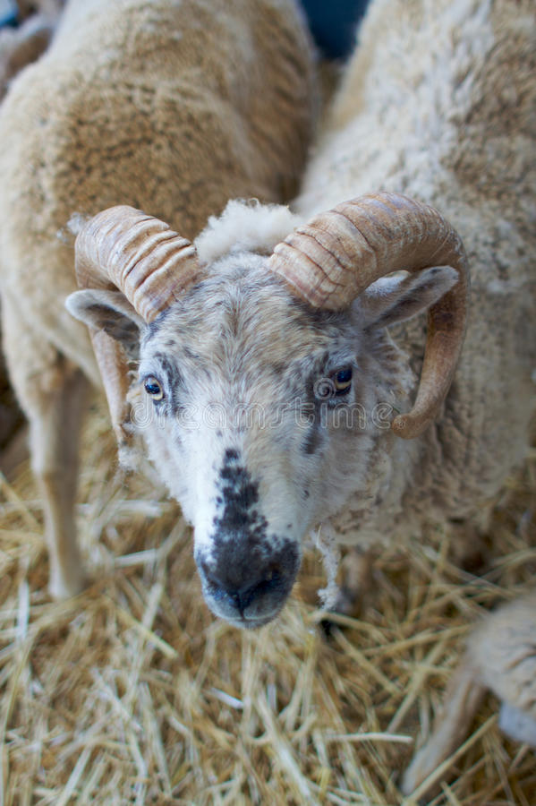 Horned Sheep Stock Images