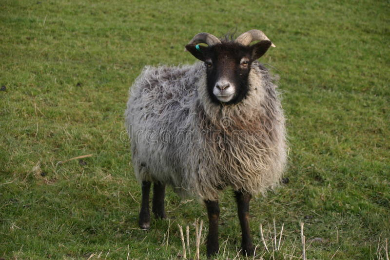 Horned sheep with black head. Sheep with a black head and legs, white nose and horns. Woolly grey coat. Grass field as background stock images