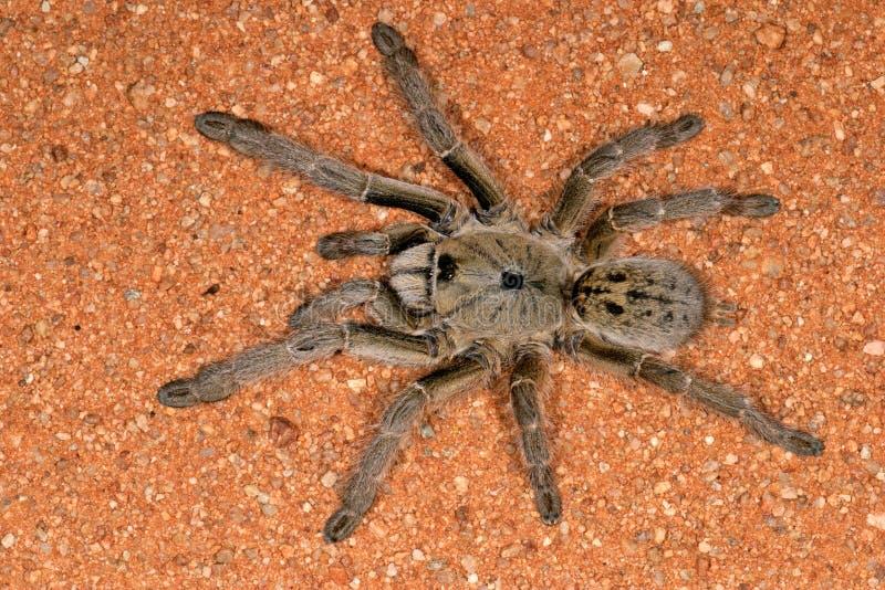 horned spindel för baboon fotografering för bildbyråer