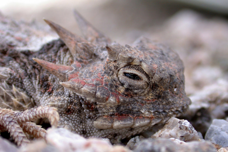 Horned Toad Lizard stock photography