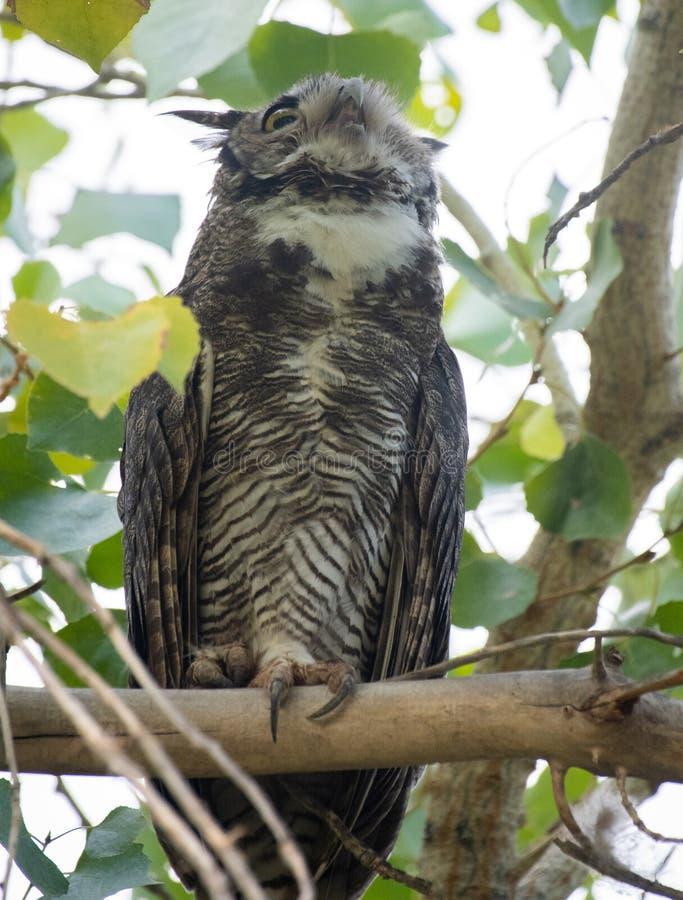 Horned uggla som ut hoar en varning royaltyfri foto