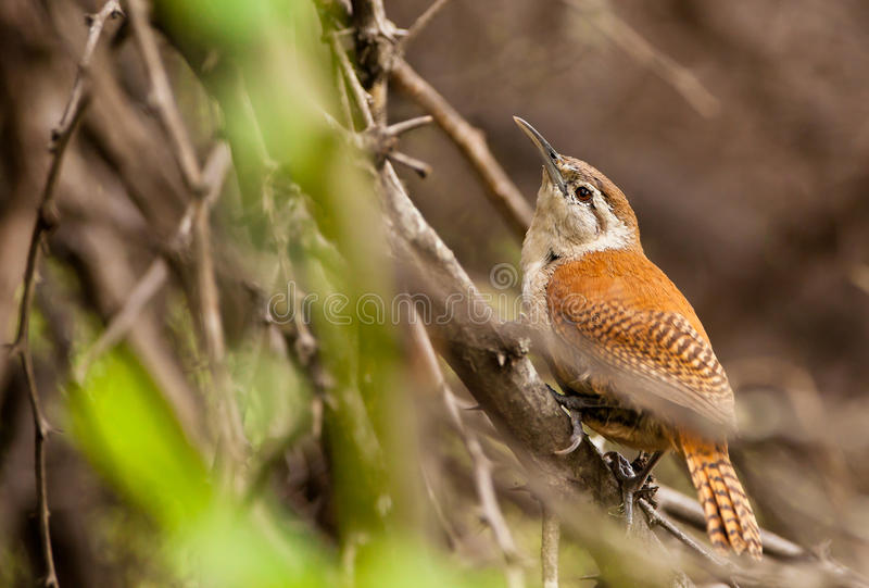 hornero птицы legged бледнеет стоковая фотография rf