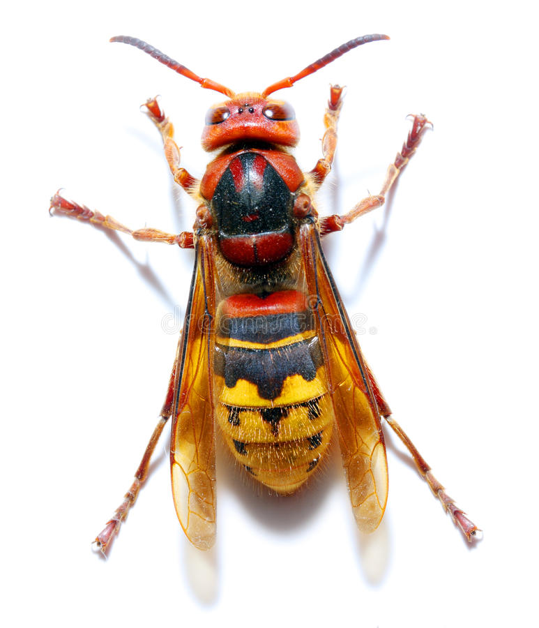 Free Hornet Royalty Free Stock Photography - 14256317