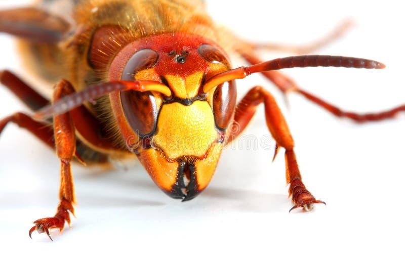 hornet στοκ φωτογραφία