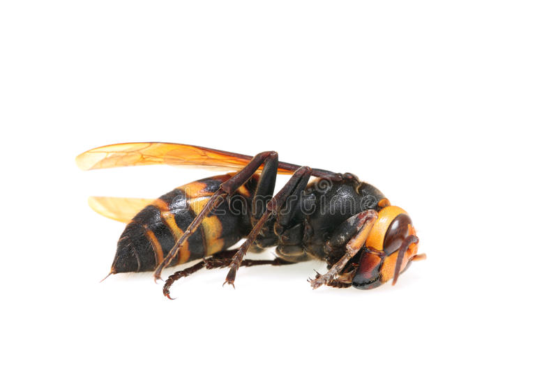 Download Hornet stock image. Image of closeup, antenna, copy, hornet - 25370087