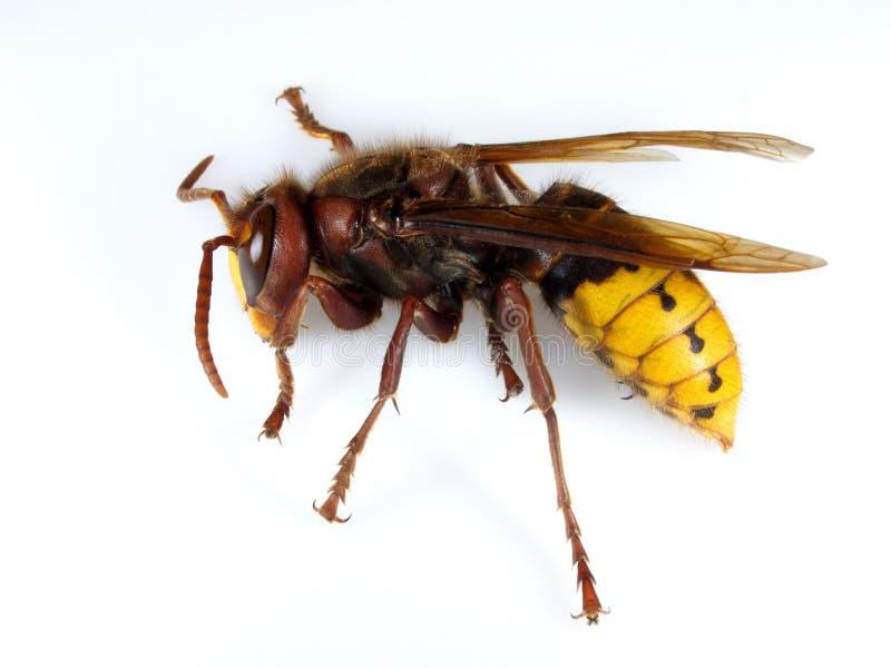 hornet stock afbeelding