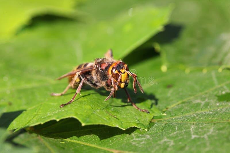 hornet royalty-vrije stock afbeeldingen
