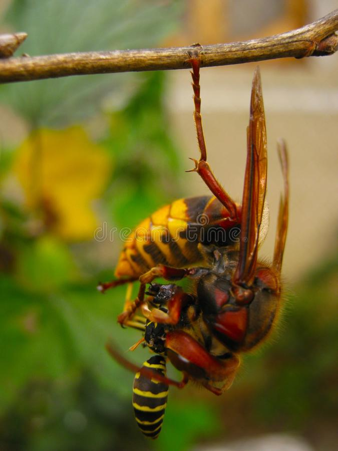 Hornet eats wasp hanging on one foot on a branch close up royalty free stock photos