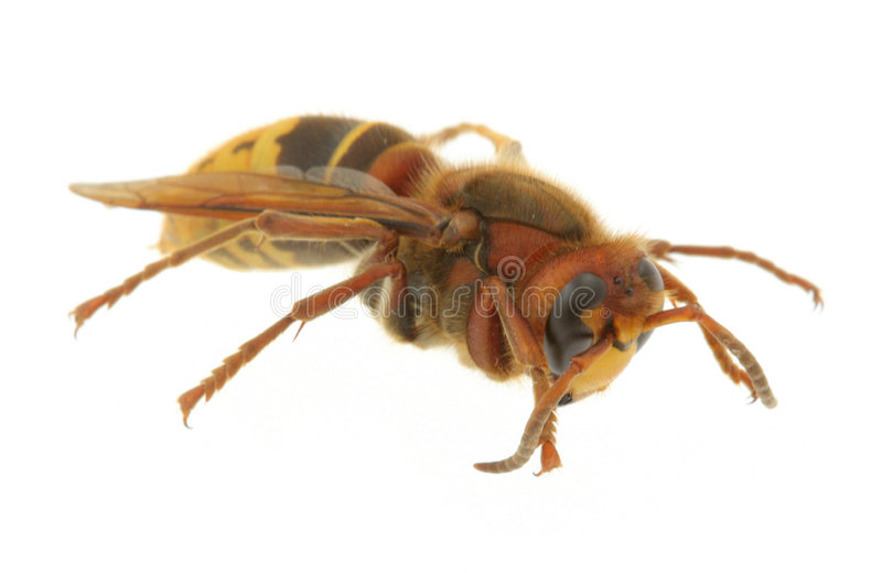 Hornet extreme macro royalty free stock photos