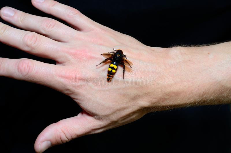 Hornet on the hand stock photography