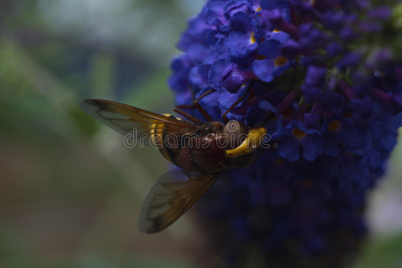 Hornet mimic hoverfly. Am i a hornet or am i a fly royalty free stock images