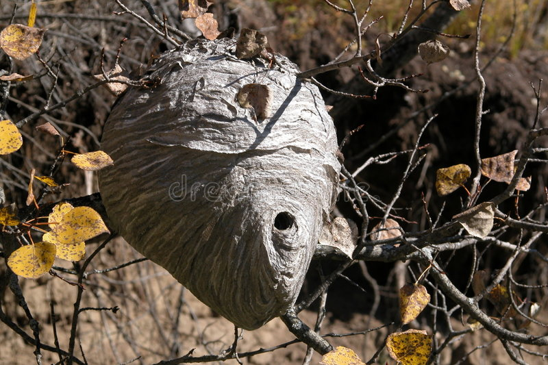 Download Hornet Nest stock photo. Image of twig, nest, paper, hole - 26312