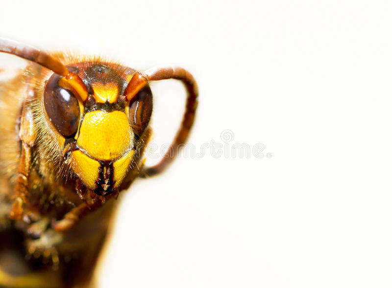 Hornet stock photos
