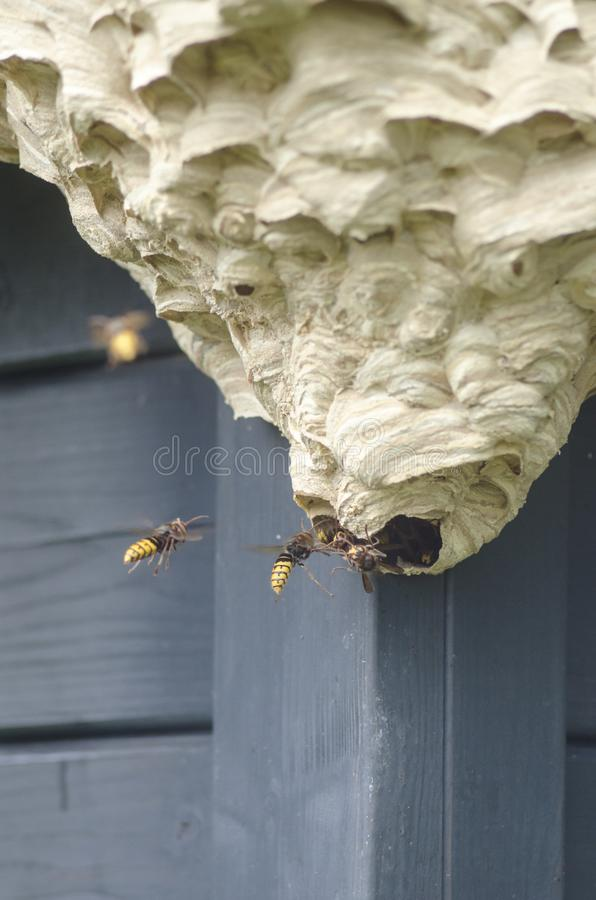 Hornets build a hive royalty free stock image