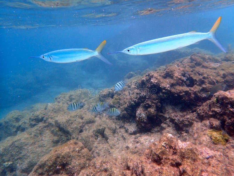 Hornhechtschwimmen nah an der Oberfläche lizenzfreie stockfotos