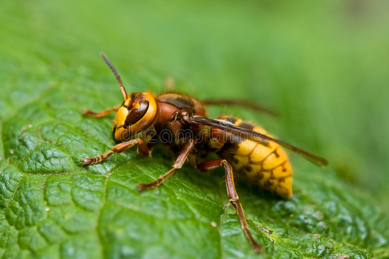 Download Hornisse stockbild. Bild von hornisse, giftig, gelb, insekt - 9092749