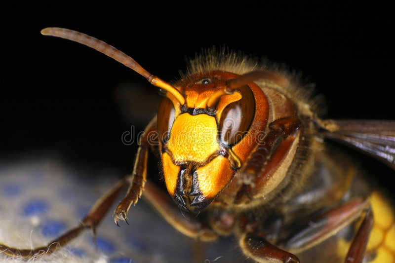 Hornisse (Vespa crabo) royalty free stock photo