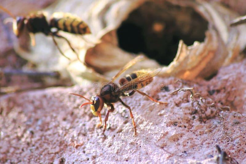 Hornisse vole hors du nid, qui a été construit dans le mur de maison photos libres de droits