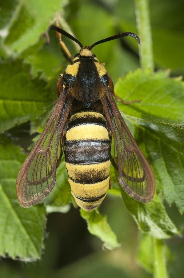 Hornissen-Motte Sesia-apiformis, Schmetterling lizenzfreies stockbild