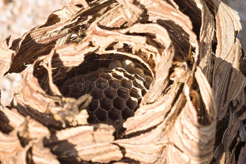 Hornissenbienenstock - Nest von Wespen lizenzfreie stockbilder