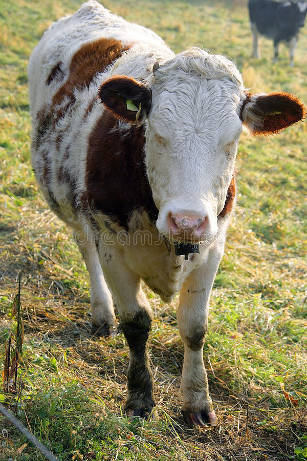 Free Hornless Cow 2 Royalty Free Stock Photo - 1486675