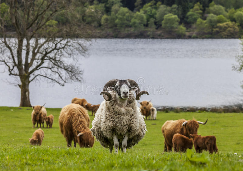 Horns and Horns - Shape and Cattle, Scotland. Incredible scottish cattle and sheep - long hair, mighty horn, Scotland royalty free stock photo