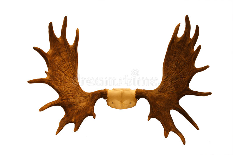 Horns of moose. The photo is made at an exhibition of the hunting trophies royalty free stock image