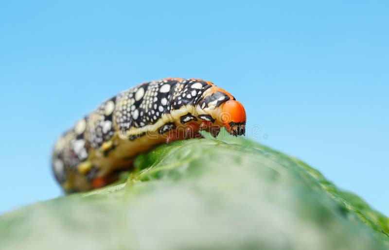 Hornworm, das über grünes Blatt kriecht stockbild