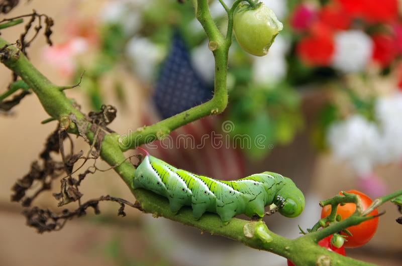 Hornworm que come plantas de tomate do jardim fotos de stock royalty free