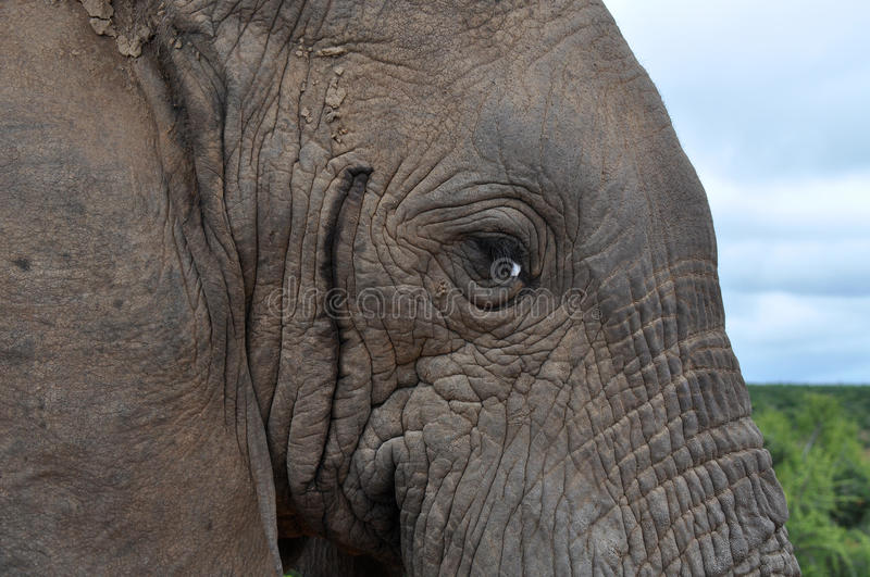 Download Elephant stock photo. Image of wildlife, musth, strong - 27935558