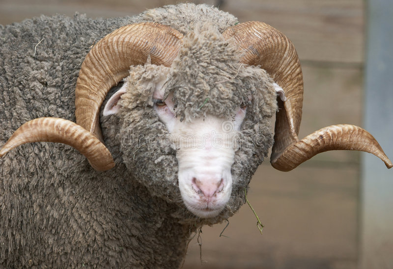 Download Sheep stock photo. Image of fleece, herd, farm, marino - 373110