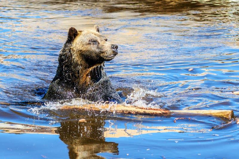 Horribilis d'arctos d'Ursus d'ours gris photographie stock libre de droits