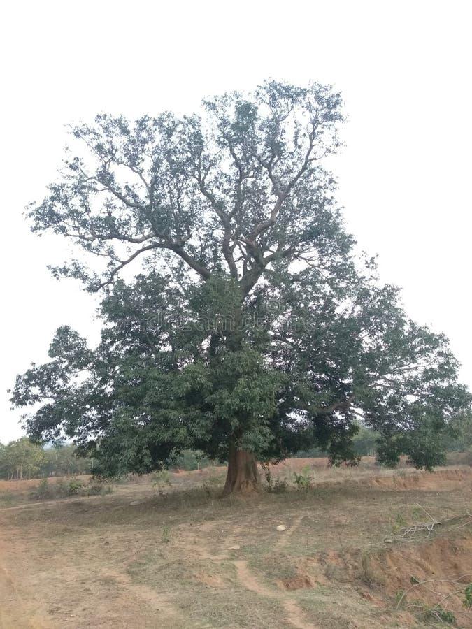 Horror árbol de Mango en un campo fotos de archivo
