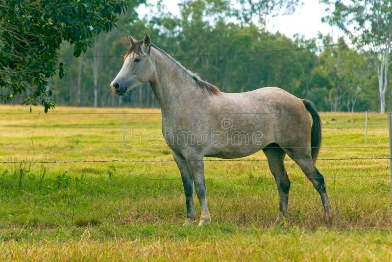 Download Horse stock photo. Image of paddock, morning, green, grey - 10333334