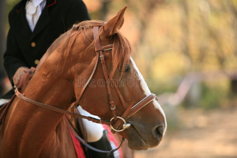 Download Horse stock photo. Image of harness, heavily, breathing - 11242528